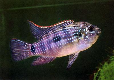 http://www.akvalife.info/akva/fish/im/104.jpg
