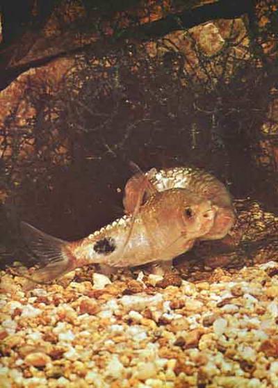Аквариум виды аквариумных рыб барбус