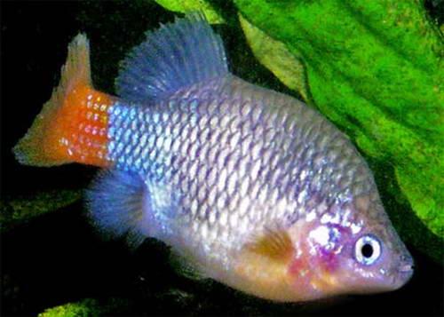 Аквариум виды аквариумных рыб