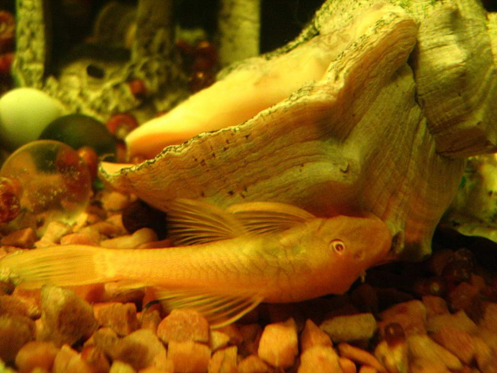 Аквариумные рыбки сомики виды фото и описание