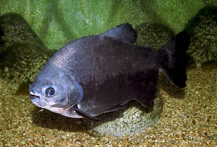 Виды аквариумных рыб красный паку