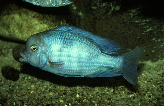Виды аквариумных рыб.  Дельфин голубой (Cyrtocara moorii)