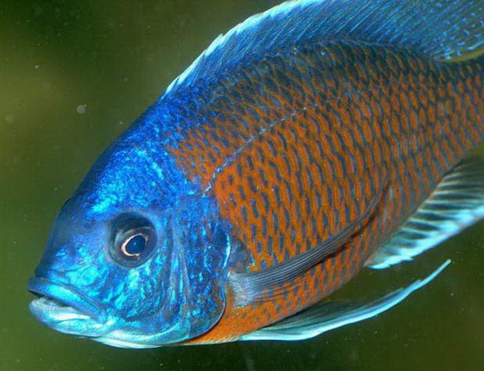 паразиты пресноводных рыб опасные для человека