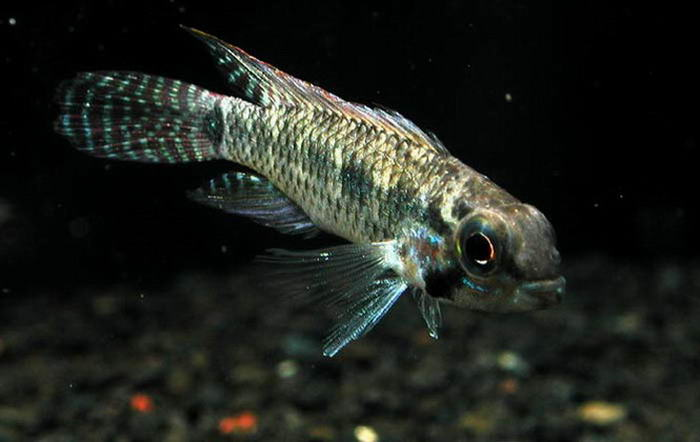 Виды аквариумных рыб апистограмма