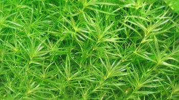 http://www.akvalife.info/akva/grass/im/107.jpg